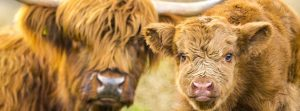 Highland Cattle Mother and Calf Fridge magnets