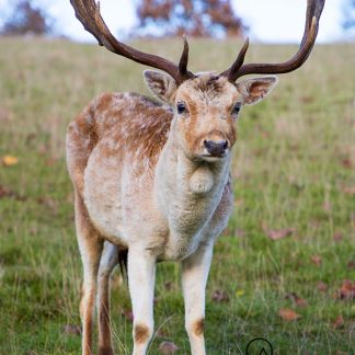 """Fallow Deer Stag at Chatsworth House """"Willow"""""""