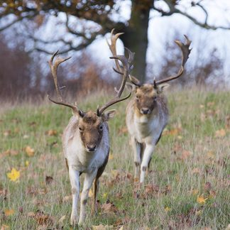 Fallow Me, Two Deer at Chatsworth