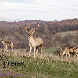 Three Stags at Chatsworth house