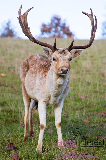 "Fallow Deer Stag at Chatsworth House ""Willow"""