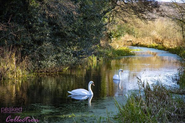 Swans on Cromford Canal