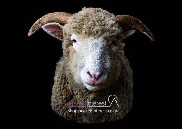 Portrait of a Dorset Horn Hogget Ewe